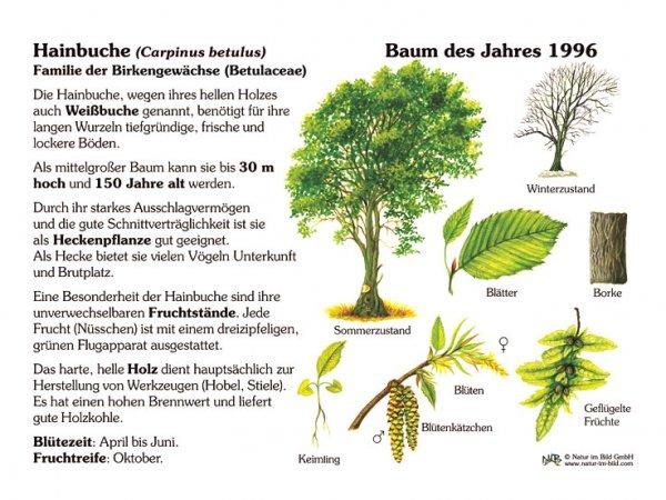 Hainbuche - Baum des Jahres 1996