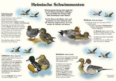 Heimische Schwimmenten I - Schnatter-, Löffel-, Spieß- und Pfeifente
