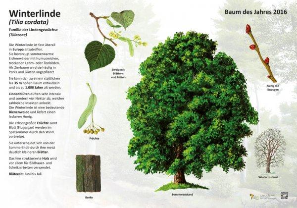 Die Winterlinde - Baum des Jahres 2016