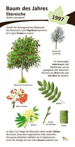 Eberesche, Vogelbeere - Baum des Jahres 1997