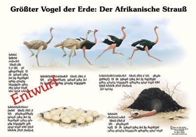 Größter Vogel der Erde - Der Afrikanische Strauß