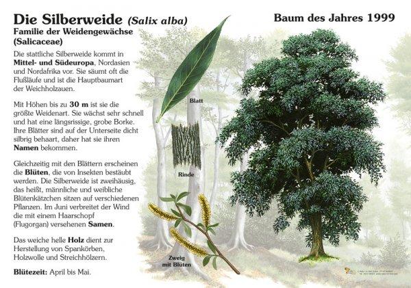 Silberweide - Baum des Jahres 1991