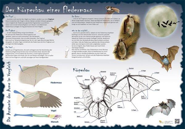 Der Körperbau einer Fledermaus