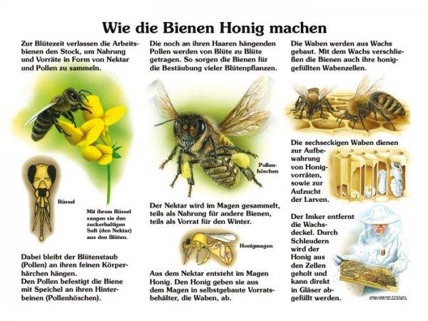 Wie die Bienen Honig machen