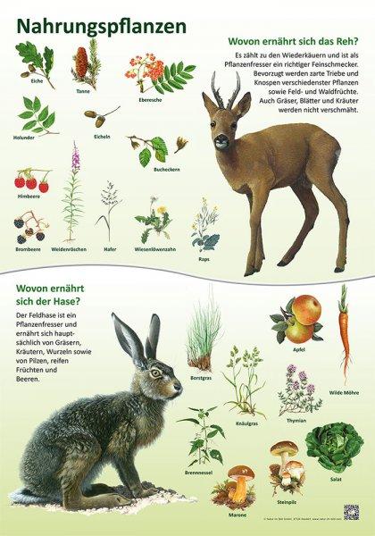 Nahrungspflanzen - Hase und Reh
