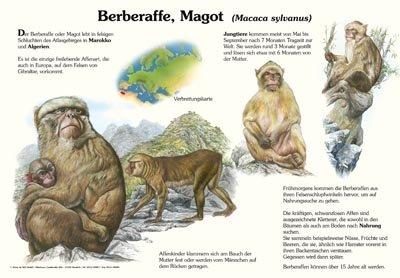 Berberaffe, Magot