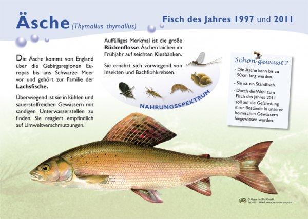 Äsche (1997 u. 2011)