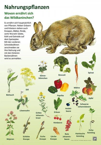 Nahrungspflanzen - Wildkaninchen
