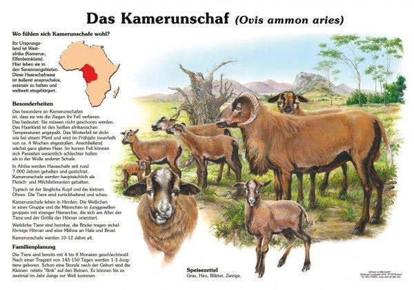 Das Kamerunschaf