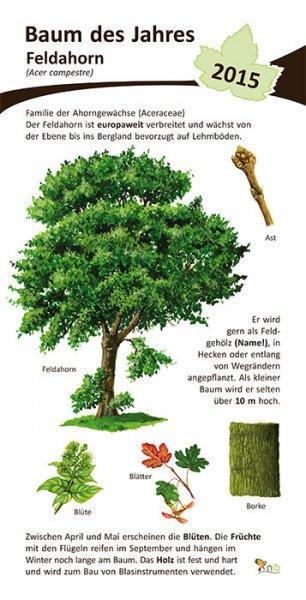 Feldahorn Baum des Jahres 2015