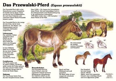 Das Przewalski-Pferd