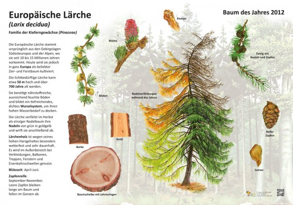 Die europäische Lärche - Baum des Jahres 2012