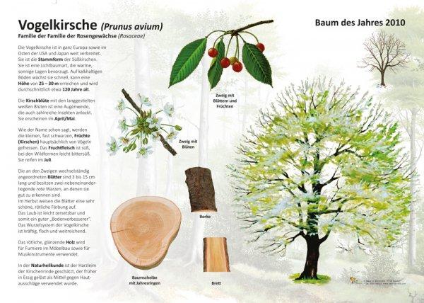 Die Vogelkirsche - Baum des Jahres 2010