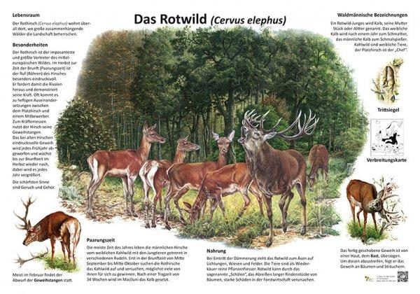 Das Rotwild
