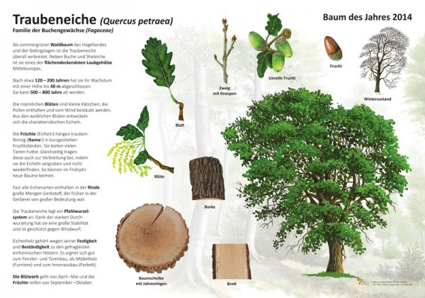 Die Traubeneiche - Baum des Jahres 2014