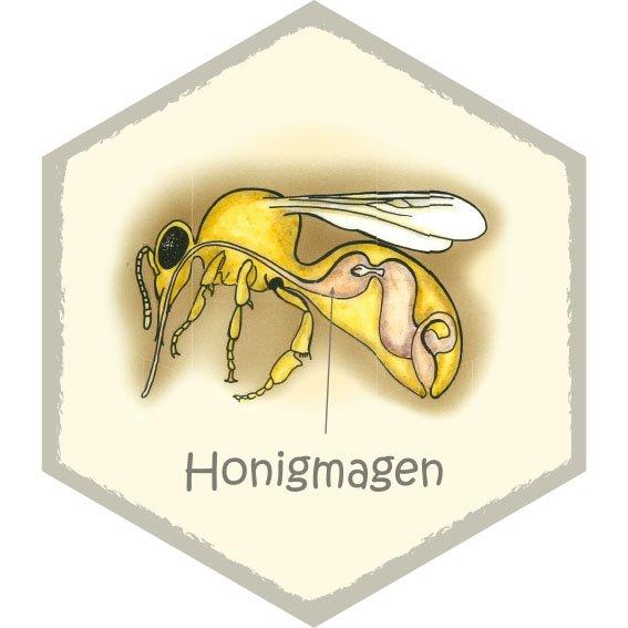 Wabe Honigmagen