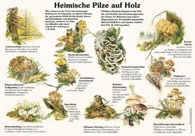 Heimische Pilze auf Holz