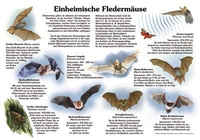 Einheimische Fledermäuse