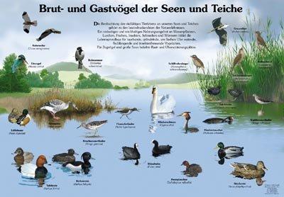 Brut- und Gastvögel der Seen und Teiche