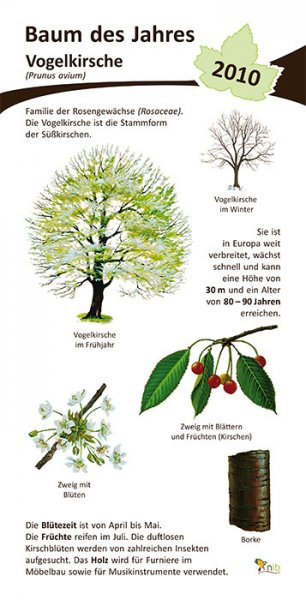 Vogelkirsche - Baum des Jahres 2010