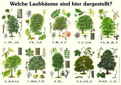 Welche Laubbäume sind hier dargestellt?