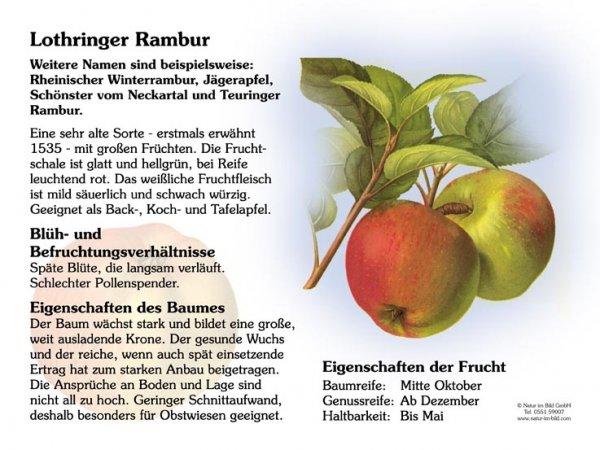 Lothringer Rambur