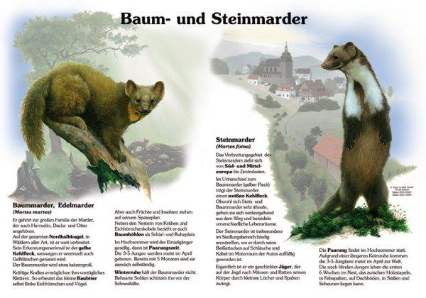Baum- und Steinmarder