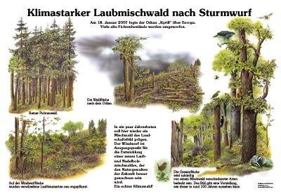 Klimastarker Laubmischwald nach Sturmwurf