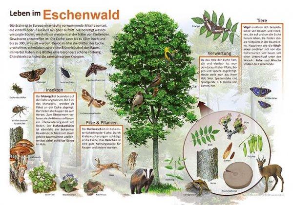 Leben im Eschenwald