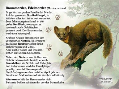 Baummarder