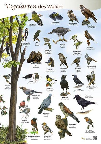 Vogelarten des Waldes