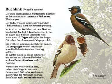 Buchfink