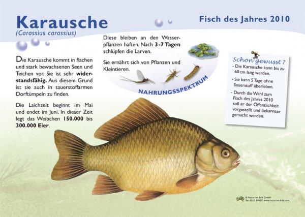 Karausche (2010)