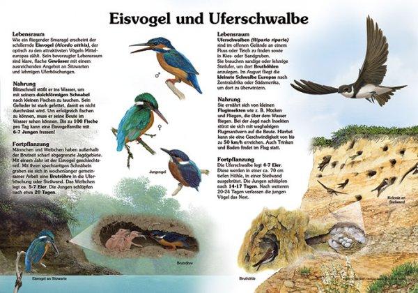 Eisvogel und Uferschwalbe