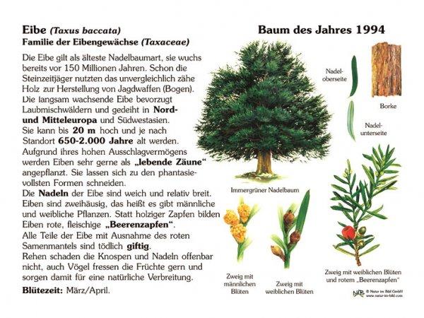 Eibe - Baum des Jahres 1994