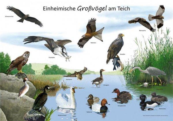 Einheimische Großvögel am Teich