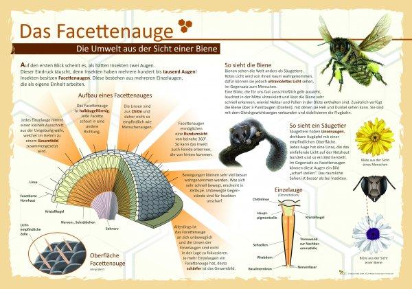 Das Facettenauge - Die Umwelt aus der Sicht einer Biene