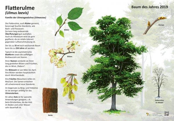 Die Flatterulme - Baum des Jahres 2019