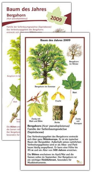 Bergahorn - Baum des Jahres 2009
