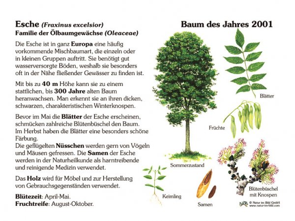 Esche - Baum des Jahres 2001