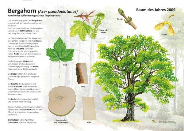 Der Bergahorn - Baum des Jahres 2009