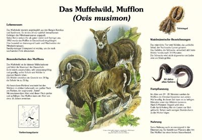 Das Muffelwild