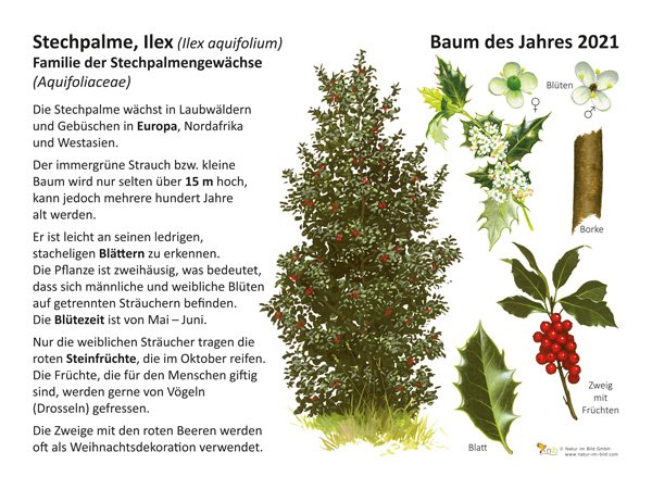 Stechpalme. Ilex Baum des Jahres 2021