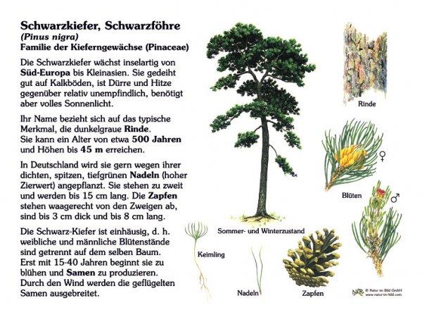 Schwarzkiefer