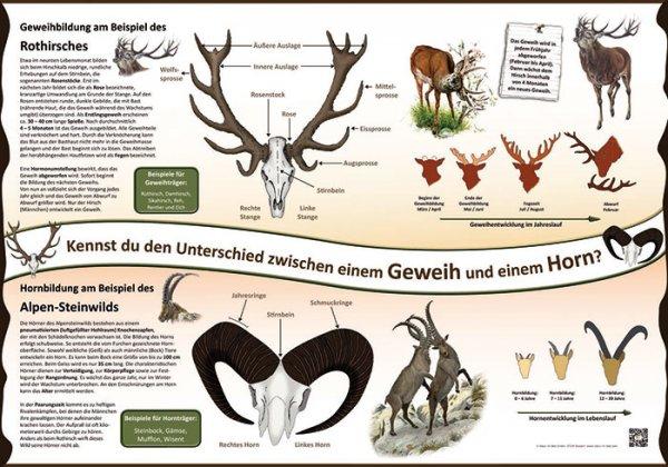 Kennst du den Unterschied zwischen einem Geweih und einem Horn?