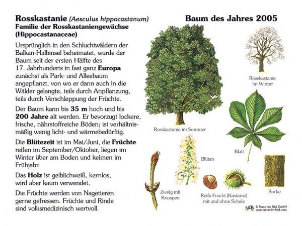 Rosskastanie - Baum des Jahres 2005