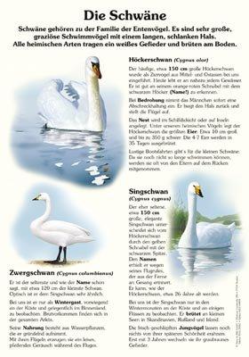 Die Schwäne - Höcker-, Sing- und Zwergschwan