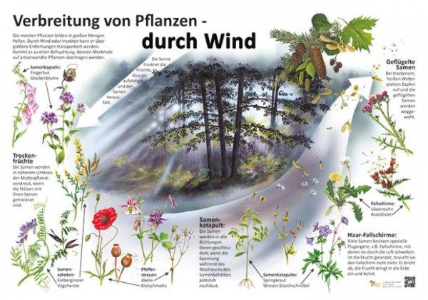 Verbreitung von Pflanzen durch Wind