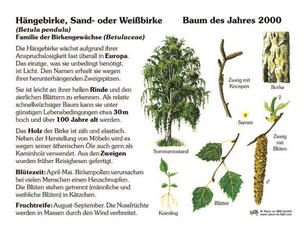 Hängebirke - Baum des Jahres 2000