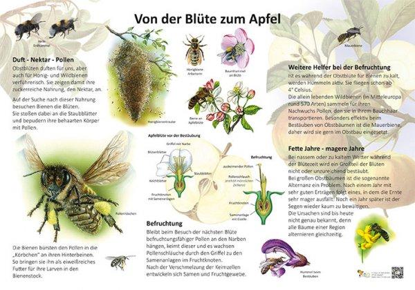Von der Blüte zum Apfel